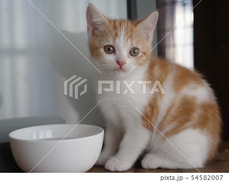 スコティッシュフォールド 子猫 立耳 54582007