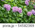 紫陽花 紫色 54582369