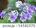 紫陽花 紫色 54582370
