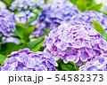 紫陽花 紫色 54582373