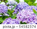 紫陽花 紫色 54582374
