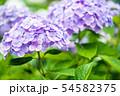 紫陽花 紫色 54582375