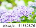 紫陽花 紫色 54582376