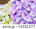 紫陽花 紫色 54582377