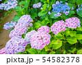 紫陽花 紫色 54582378