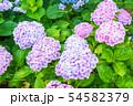 紫陽花 紫色 54582379