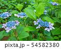 紫陽花 紫色 54582380