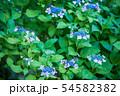 紫陽花 紫色 54582382