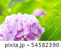 紫陽花 ピンク 54582390