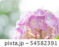 紫陽花 ピンク 54582391