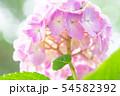 紫陽花 ピンク 54582392