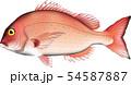 鯛 マダイ イラスト ベクター 54587887