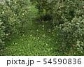 桃の畑 54590836