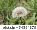野原に咲くタンポポの綿毛 54594878