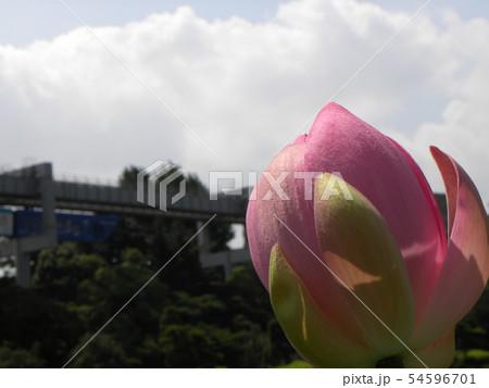 千葉公園のオオガハスの桃色の蕾 54596701