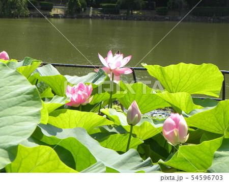 千葉公園のオオガハスの桃色の花 54596703
