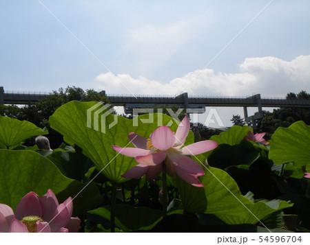 千葉公園のオオガハスの桃色の花 54596704