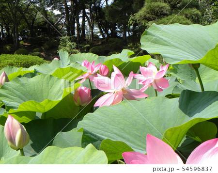 千葉公園のオオガハスの桃色の花 54596837