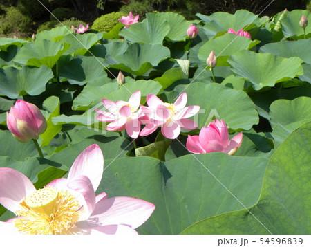 千葉公園のオオガハスの桃色の花 54596839