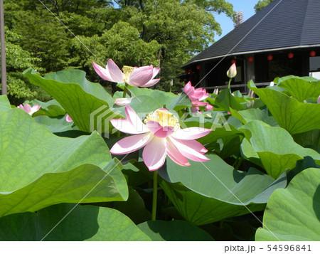 千葉公園のオオガハスの桃色の花 54596841