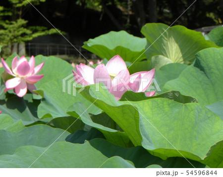 千葉公園のオオガハスの桃色の花 54596844