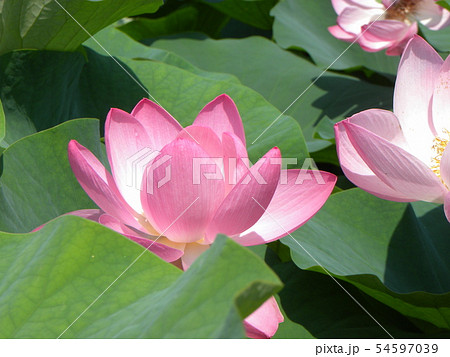 千葉公園のオオガハスの桃色の花 54597039