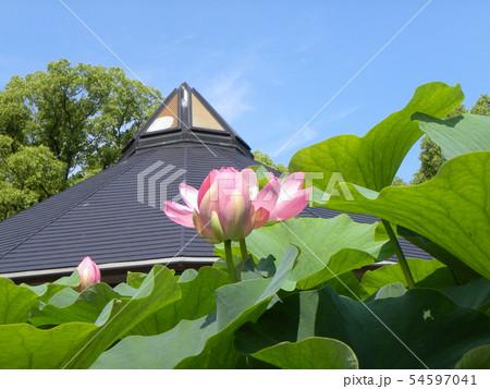 千葉公園のオオガハスの桃色の花 54597041