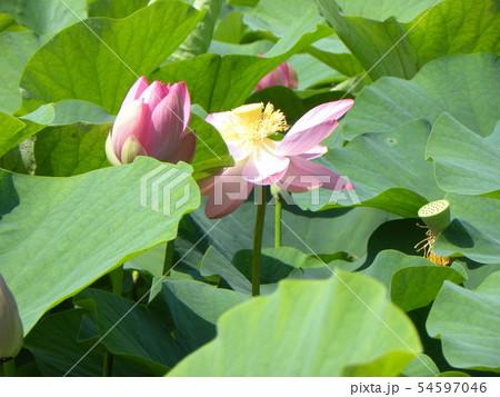 千葉公園のオオガハスの桃色の蕾 54597046