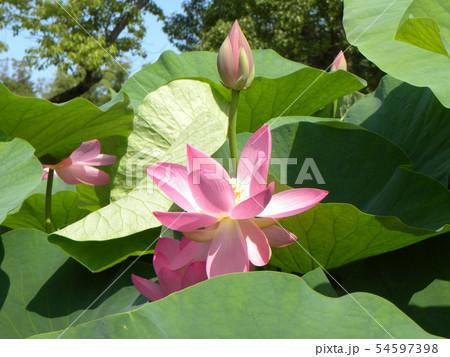 千葉公園のオオガハスの桃色の花 54597398