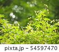 モミジの種子 初夏の野山 54597470