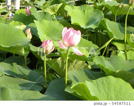 千葉公園のオオガハスの桃色の開き始めた花 54597511