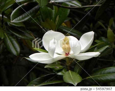 大きい真っ白な花はタイサンボクの花 54597907