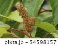 アカメガシワの花 54598157