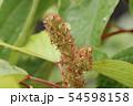 アカメガシワの花 54598158