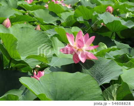 千葉公園のオオガハスの桃色の花 54608828