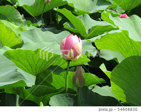 千葉公園のオオガハスの桃色の蕾 54608830