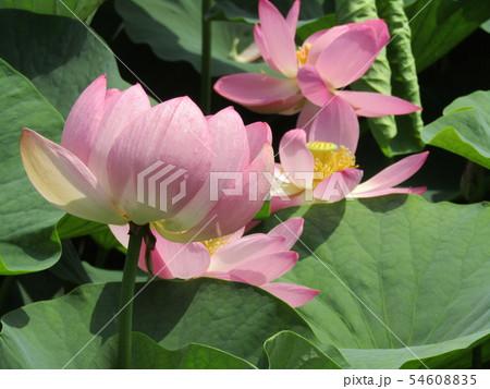 千葉公園のオオガハスの桃色の花 54608835