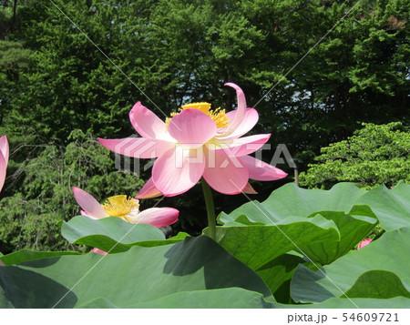 千葉公園のオオガハスの桃色の花 54609721