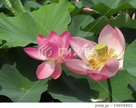 千葉公園のオオガハスの桃色の花 54609902