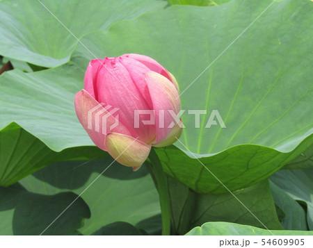 千葉公園のオオガハスの桃色の蕾 54609905