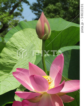 千葉公園のオオガハスの桃色の花 54610191