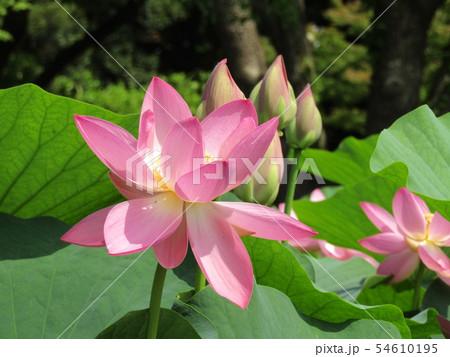 千葉公園のオオガハスの桃色の花 54610195