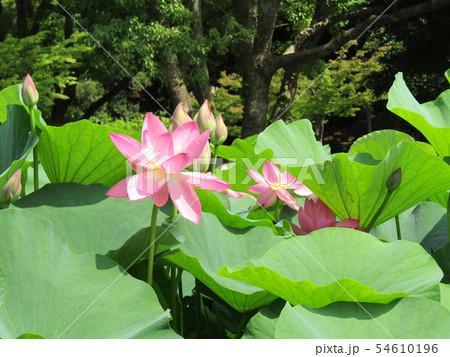 千葉公園のオオガハスの桃色の花 54610196