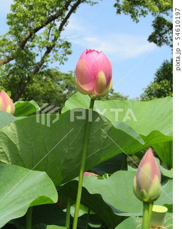 千葉公園のオオガハスの桃色の花 54610197
