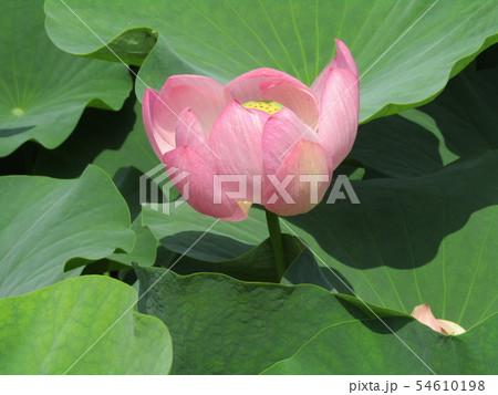 千葉公園のオオガハスの桃色の花 54610198