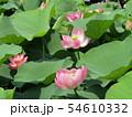 千葉公園のオオガハスの桃色の花 54610332