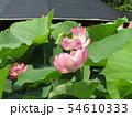 千葉公園のオオガハスの桃色の花 54610333