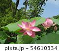 千葉公園のオオガハスの桃色の花 54610334
