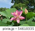 千葉公園のオオガハスの桃色の花 54610335