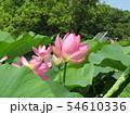 千葉公園のオオガハスの桃色の花 54610336